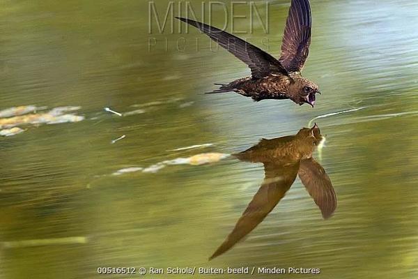 掠过水面捕食的雨燕。图片:Ran Schols / Biuten-beeld / mindenpictures